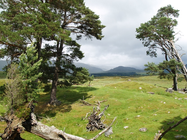 Stand of pines, looking towards Binnein Mor