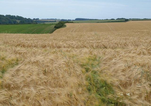 Barley near Hedge End
