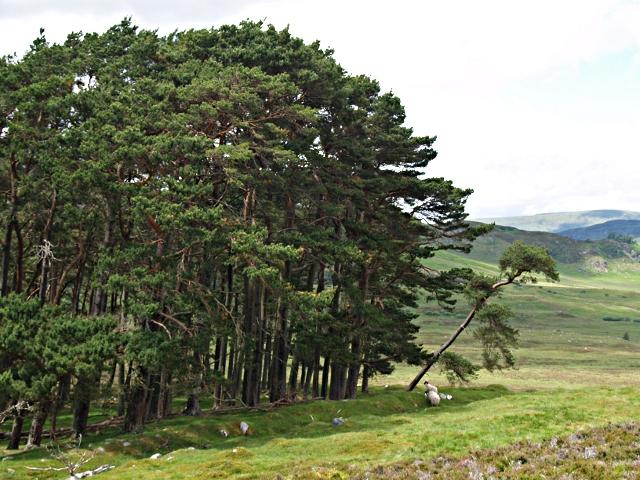 Pines, Meallach Chaitrine