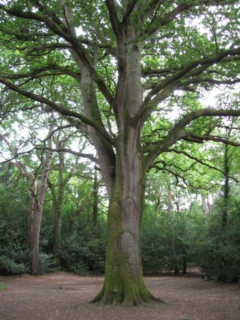 Old Oak in Delph Woods