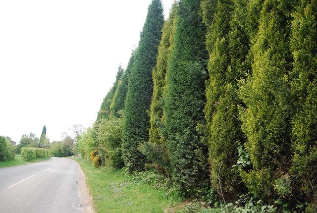 Conifer trees along Freshfield Lane