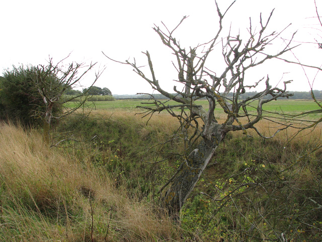 Dead tree in a hedgerow growing beside a drainage ditch