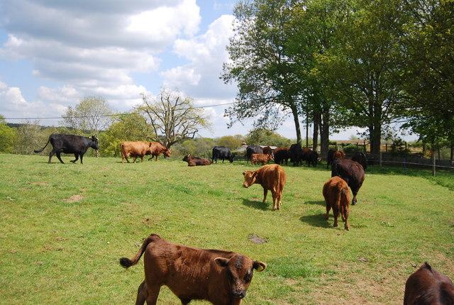 Cows and Calves, Lindfield Farm