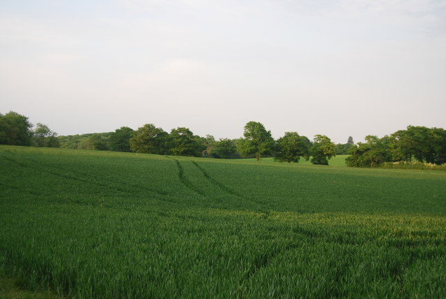 Extensive field of wheat
