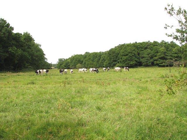 Cattle grazing pasture by Great Carr