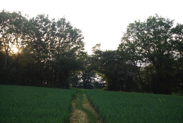 Footpath across the wheat to a hole in the trees