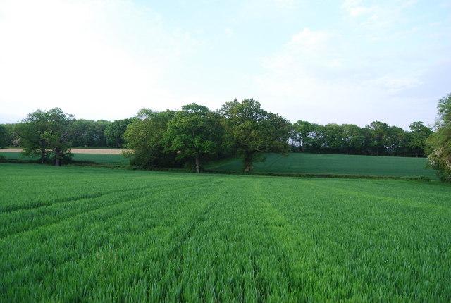 Hale Field Wood beyond the wheat fields