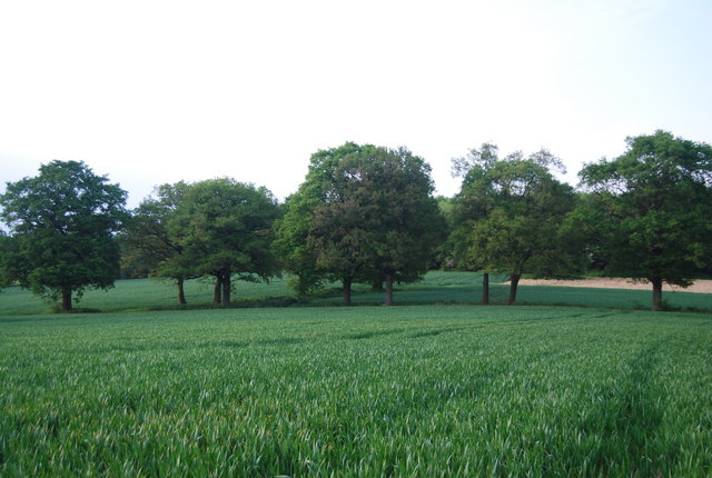 Trees amongst the wheat fields near Hale Farm