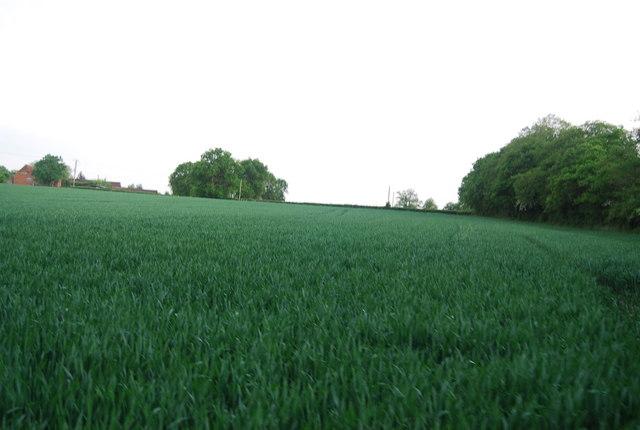 Wheat field near Brownings Farm