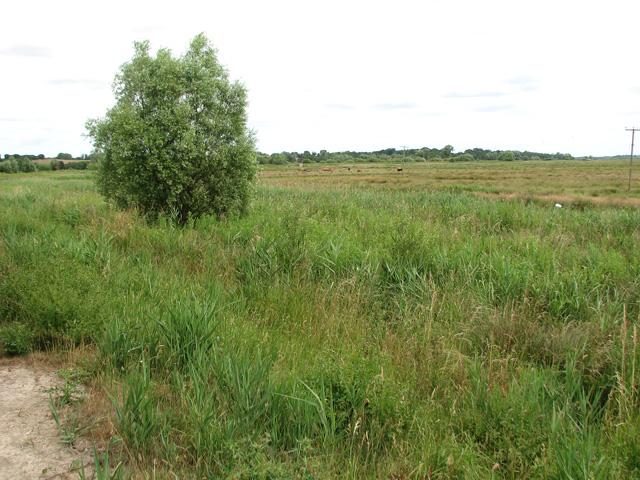 Cattle grazing in Castle Marsh