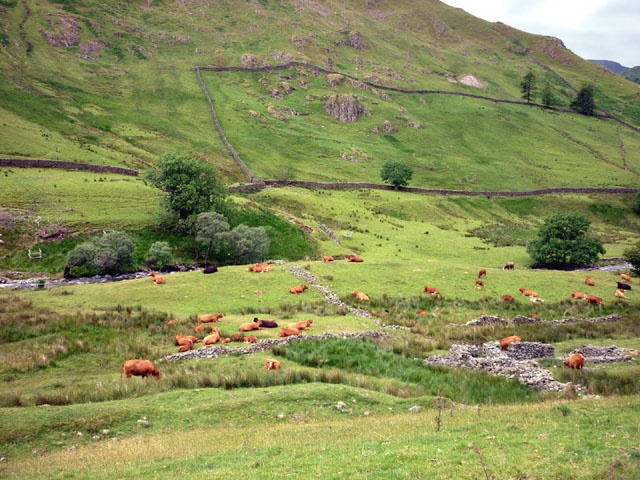 Cattle, Pasture Beck