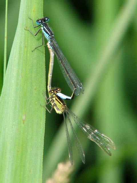Blue-tailed damselflies in the reeds beside the River Waveney
