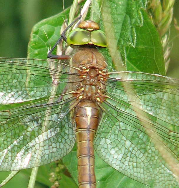 The wings of a dragonfly - a Norfolk Hawker (Aeshna isosceles)