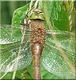 TM4791 : The wings of a dragonfly - a Norfolk Hawker (Aeshna isosceles) by Evelyn Simak