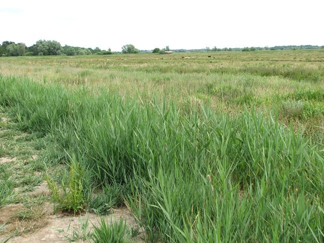 Reedbeds in Castle Marsh