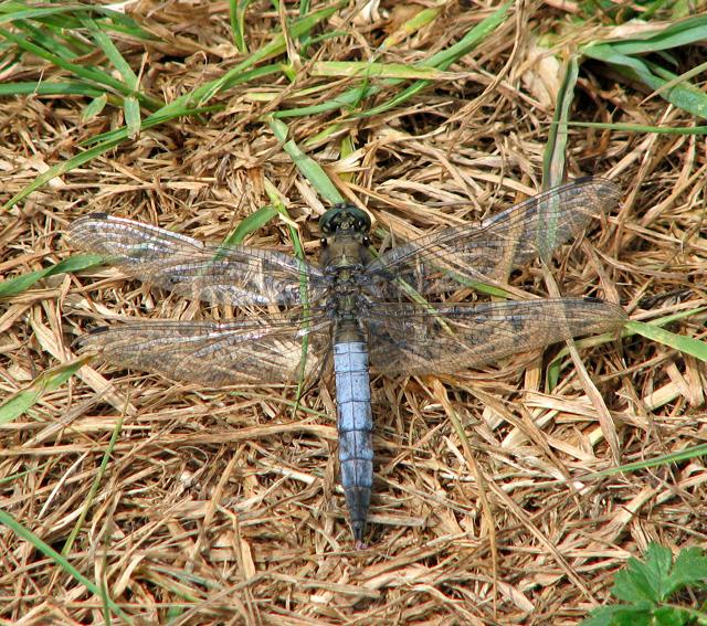 Black-tailed Skimmer in Castle Marsh