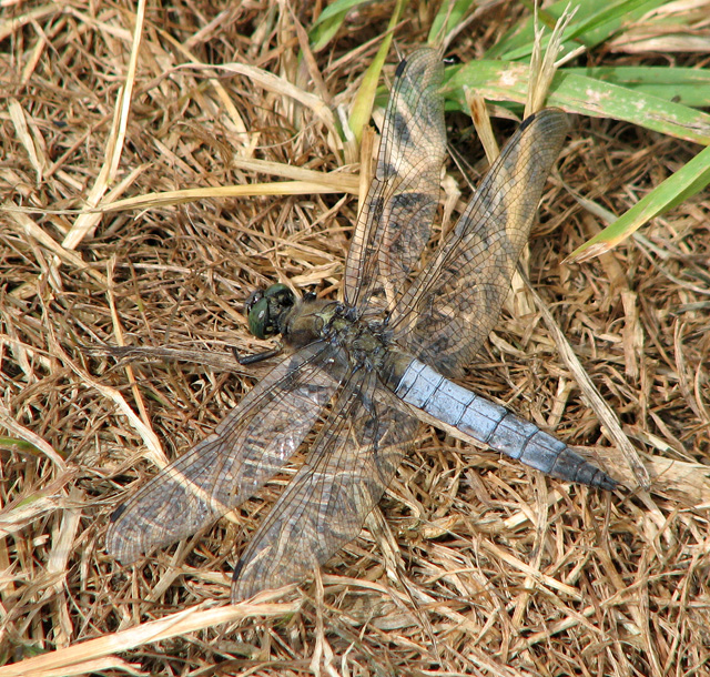 Black-tailed Skimmer on the footpath