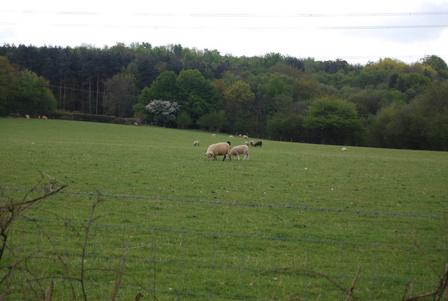 Sheep, Warr's Farm