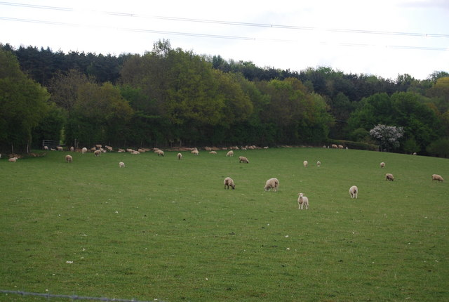 Sheep grazing near the edge of The Plantation, Warr's Farm
