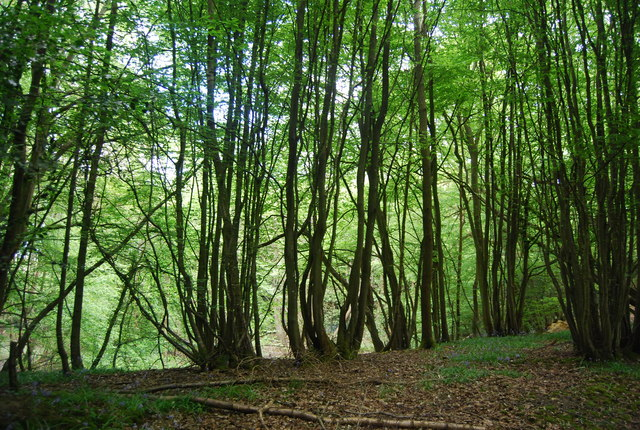 Coppiced trees, Warr's Wood