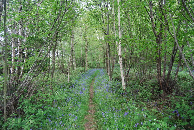 Bluebells by the path in the woods