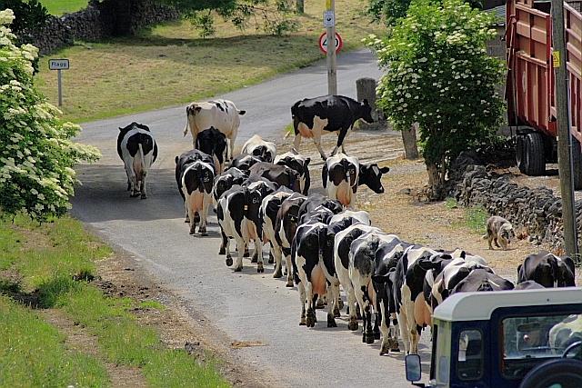 Heading for Milking