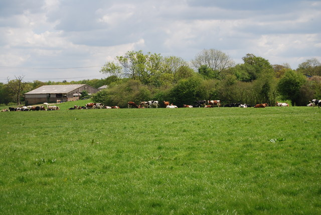 Cattle grazing east of Warr's Wood