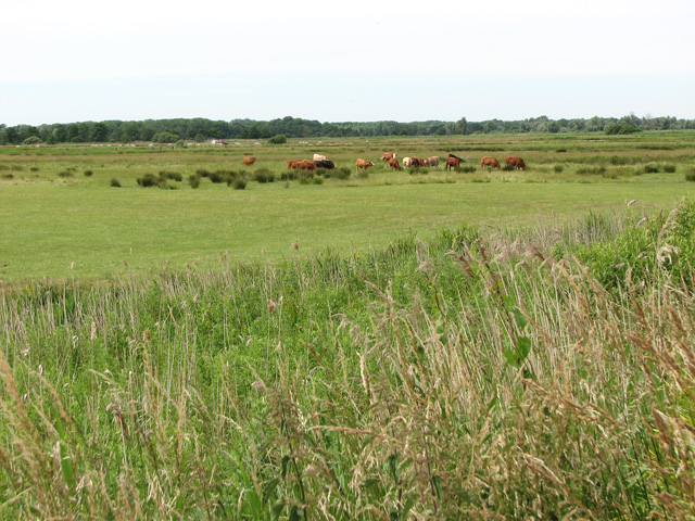 Cattle grazing in Castle Marshes Nature Reserve