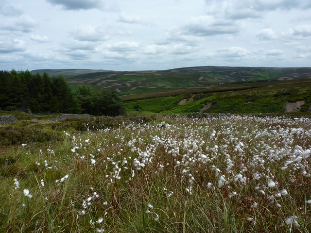 Cotton grass above Stake Clough