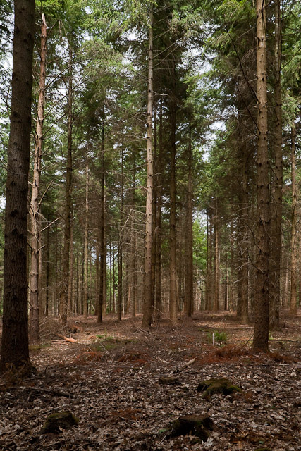 Conifers in Ampfield Wood