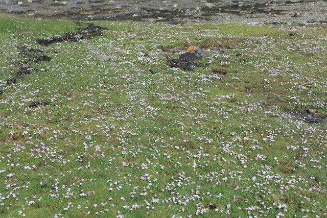 Machair on Eilean Trenach, Port Ramsay