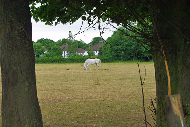 Lone white horse