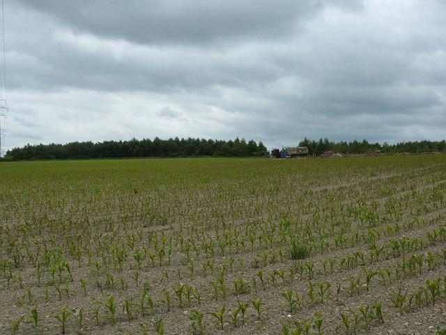 Field of corn shoots