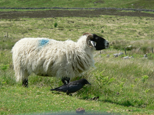 Blackface ewe with all-black friend
