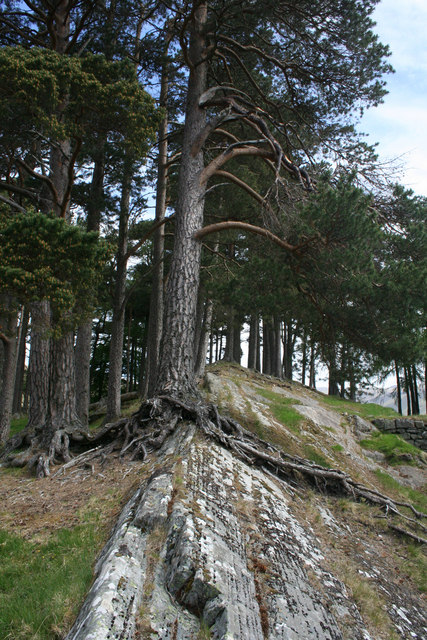 Pine tree getting to grips with roche moutonnee