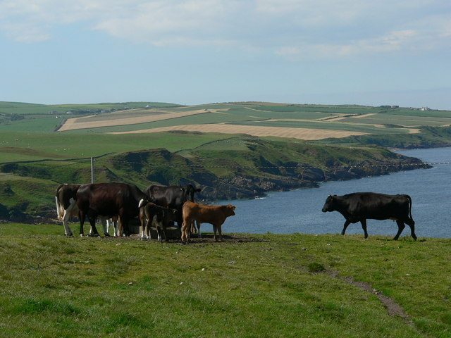 Cattle grazing above East Tarbet bay