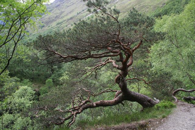 Ragged pine tree