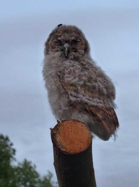 Juvenile owl at risk