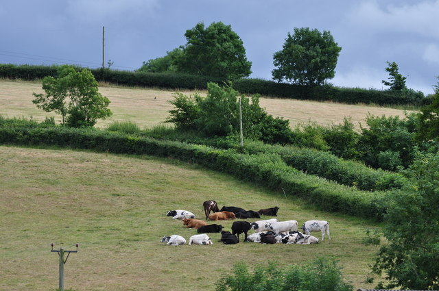 Mid Devon : Cows on the Hillside