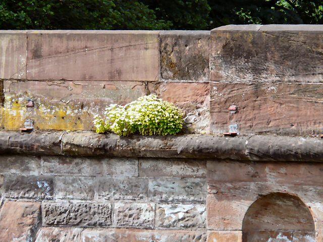 Daisies on Cheadle Bridge