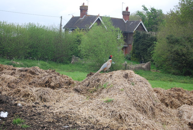 Pheasant on a mound of silage
