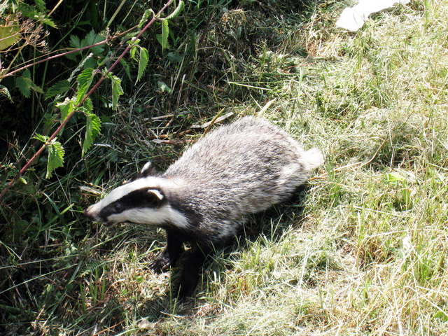 Baby Badger on Colliers Green Road