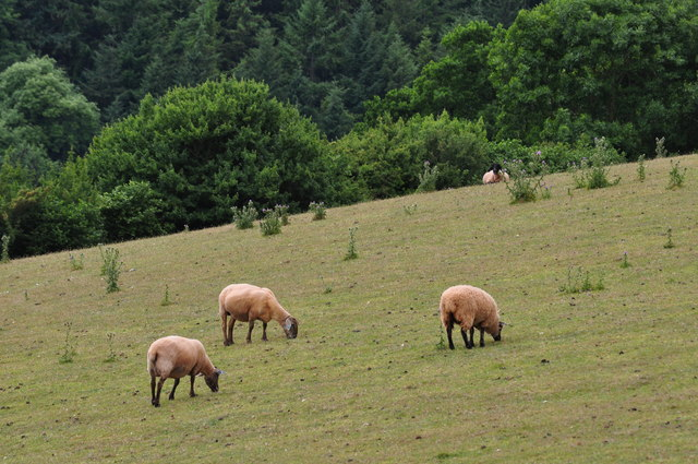Mid Devon : Sheep in a Field