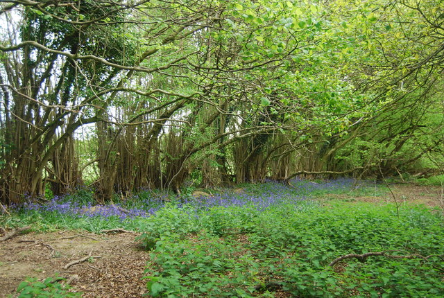 Coppiced trees and bluebells, Fletching Common