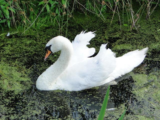 Swan in threatening posture