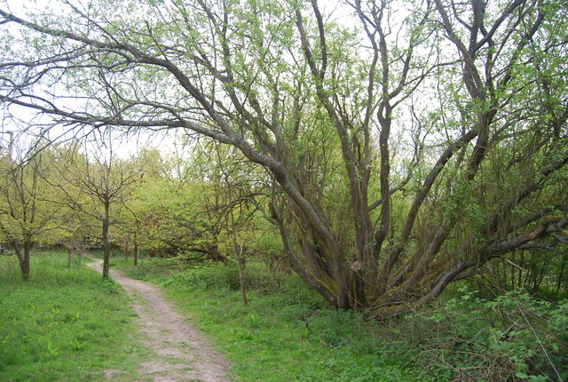 Coppiced tree by the footpath, Fletching Common