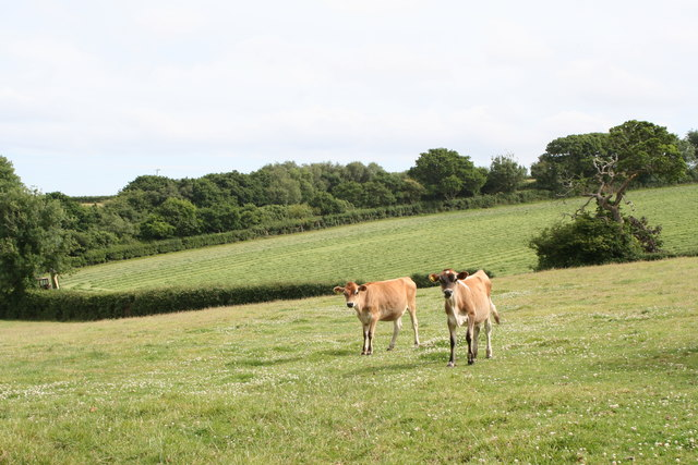 Calves in a field at Trewedna