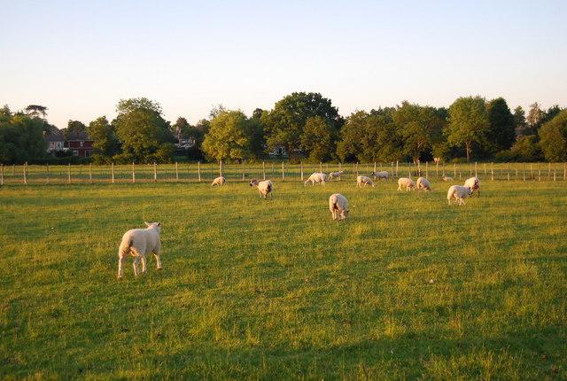 Sheep, Hawden Farm