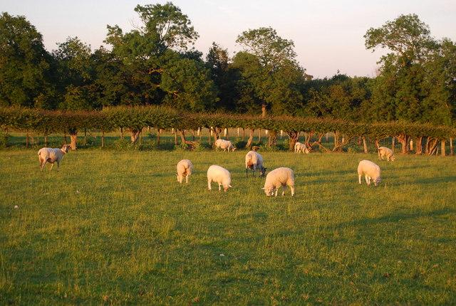 Sheep grazing, Hawden Farm