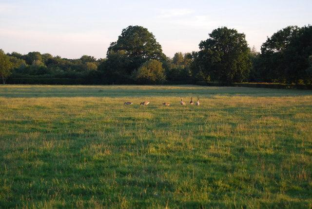 Geese near Hawden Farm